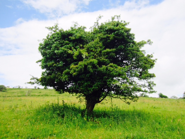 Tree Dartmoor